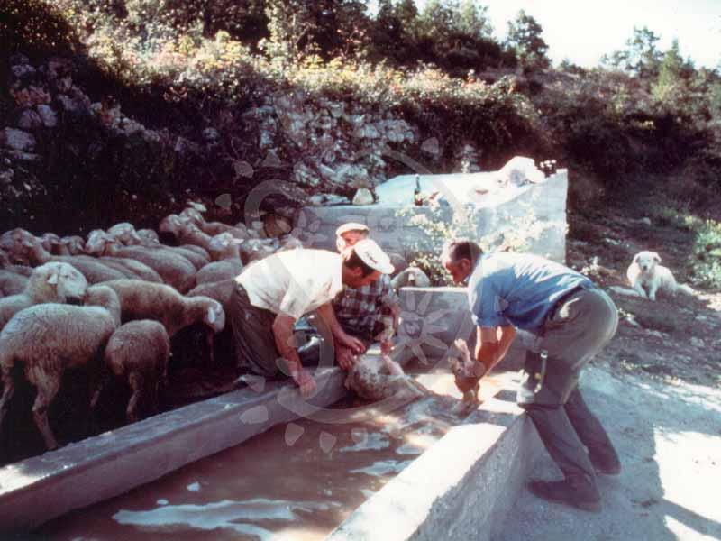 lavatura pecore